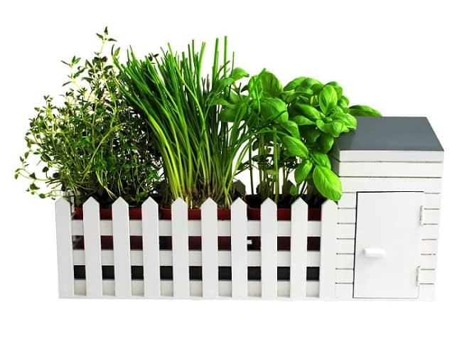 how to grow coriander indoors