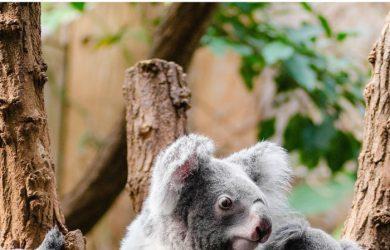 Gifts for Koala Lovers | Koala Gifts for Birthdays
