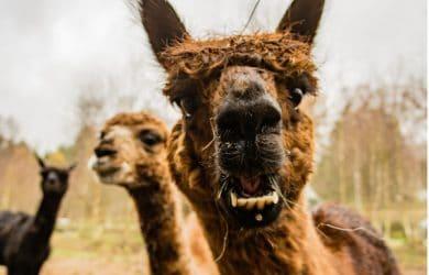 Gifts for Llama Lovers - Llama Themed Gift Ideas