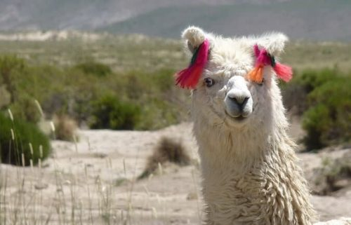Top Gifts for Llama Lovers - Llama gifts