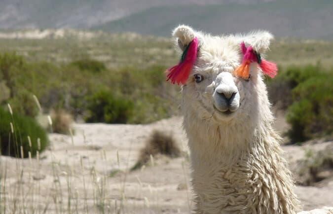 Top Gifts for Llama Lovers - Llama gifts