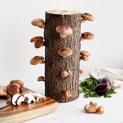 Shiitake Mushroom Log Kit - Unique Gifts for Him